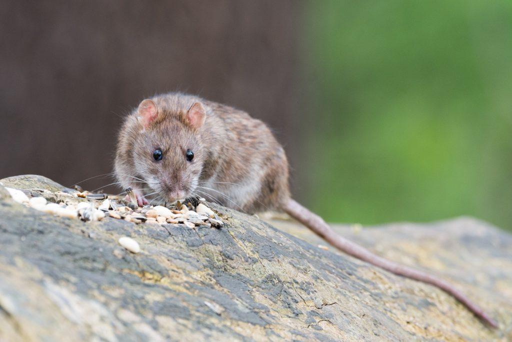 Ratten verschonen Artgenossen