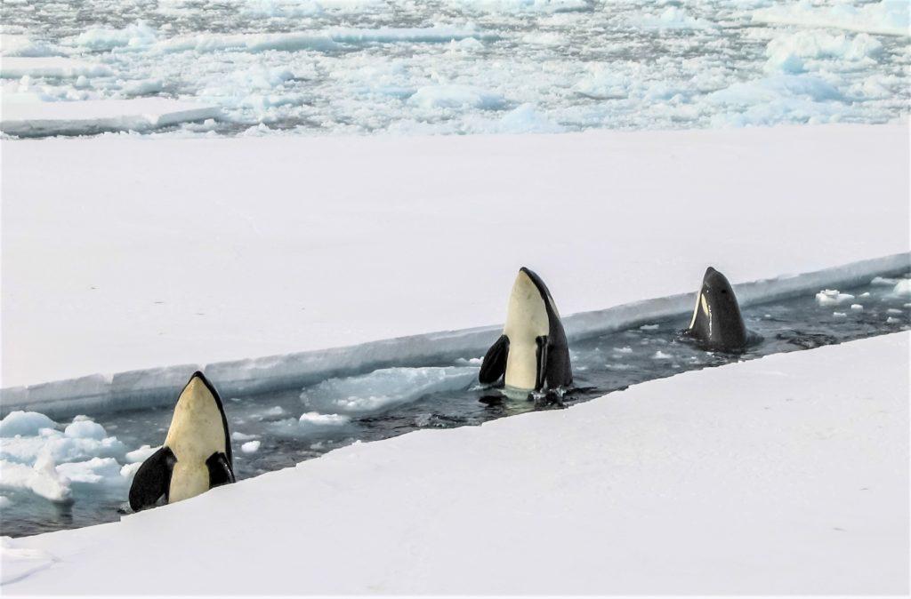 Die Bedrohung durch Orcas treibt Grönlandwale unters Eis.