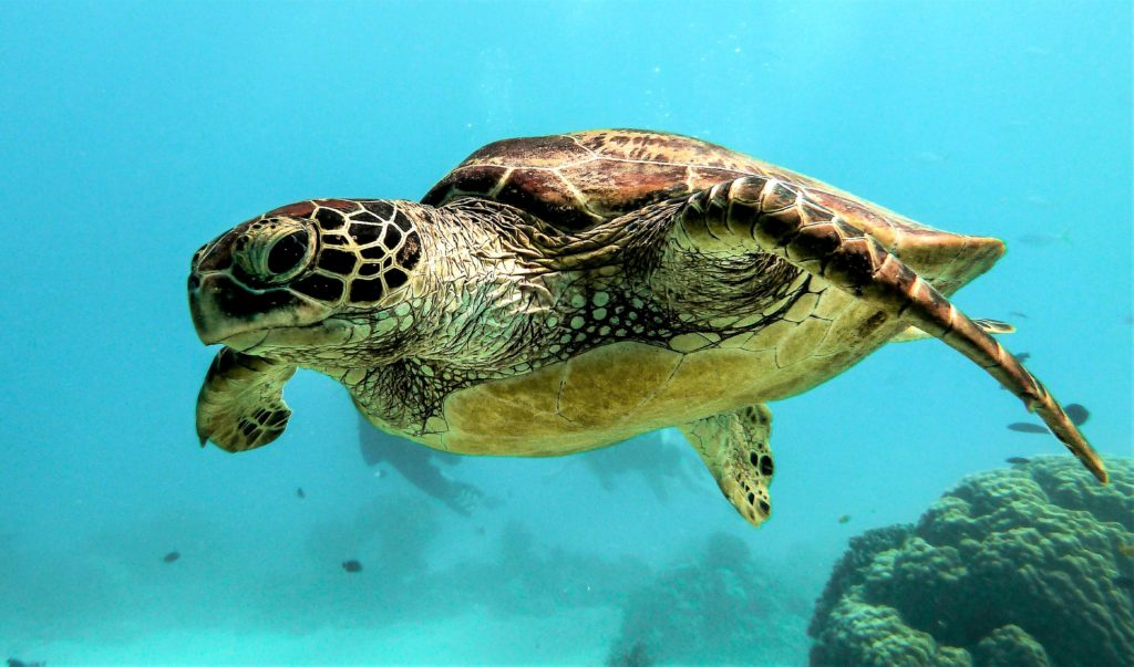 Meeresschildkröten legen eine falsche Spur für Nesträuber