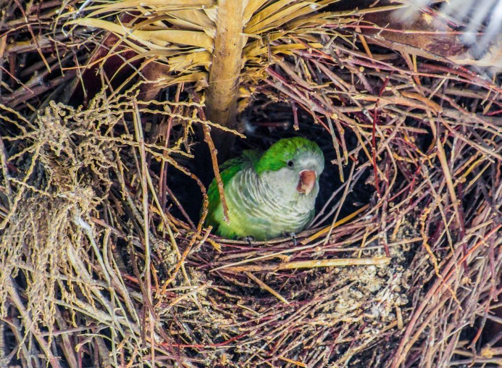 Ein Mönchssittich im Nest