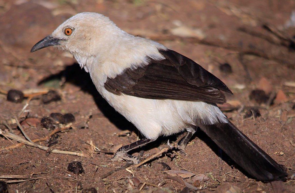 Unterricht: Elsterdrosslinge konditionieren Jungvögel auf einen Schnurrlaut