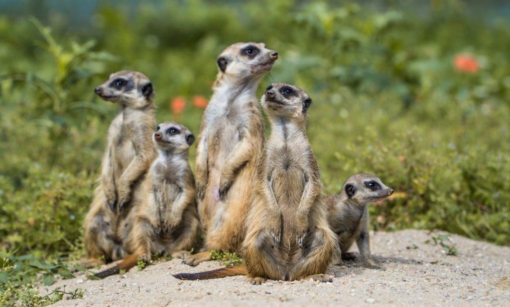 Unterricht: Erdmännchen lassen Jungtiere mit lebender Beute üben