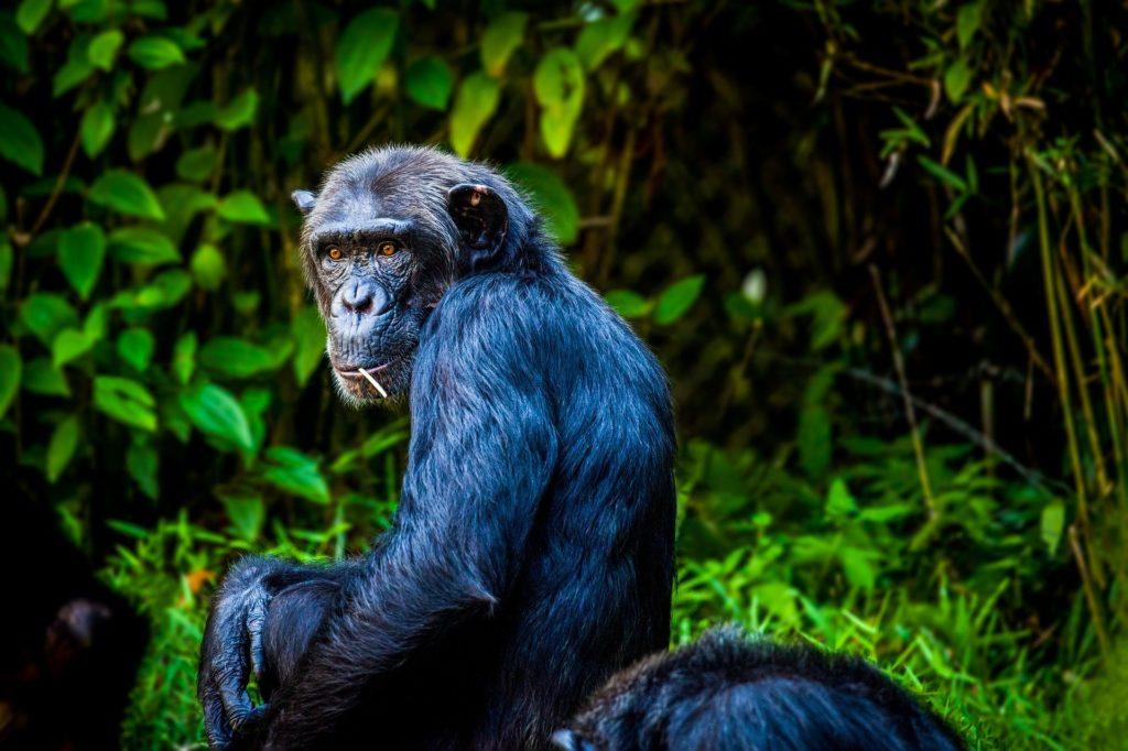 Nutzen Höhlen gegen starke Hitze: Schimpansen