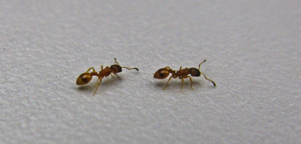 Unterricht: Ameisen der Art Temnothorax albipennis führen Artgenossen geduldig zu einer Futterquelle