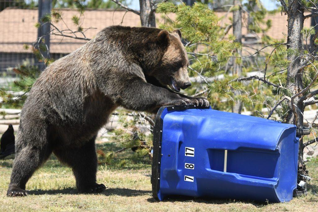 Junge Grizzlybären haben in von Menschen besiedelten Gebieten ein höheres Sterberisiko