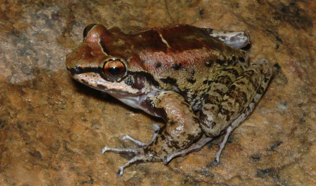 Thoropa taophora Männchen