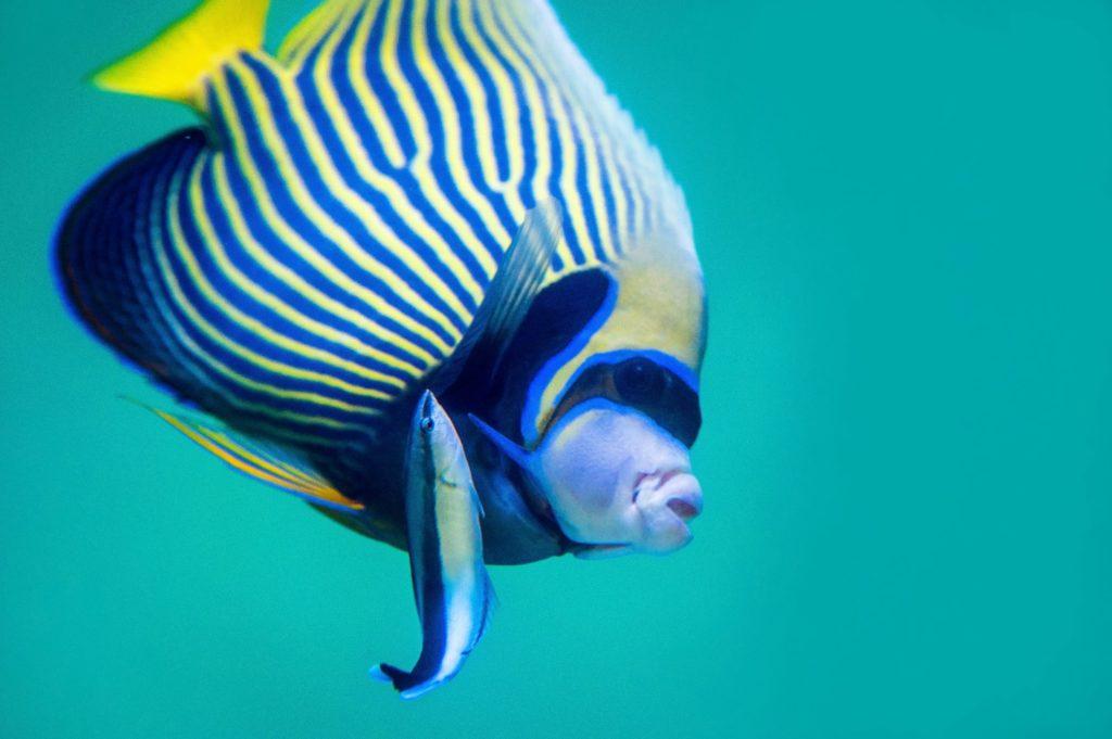 Putzerfische befreien Rifffische von Parasiten