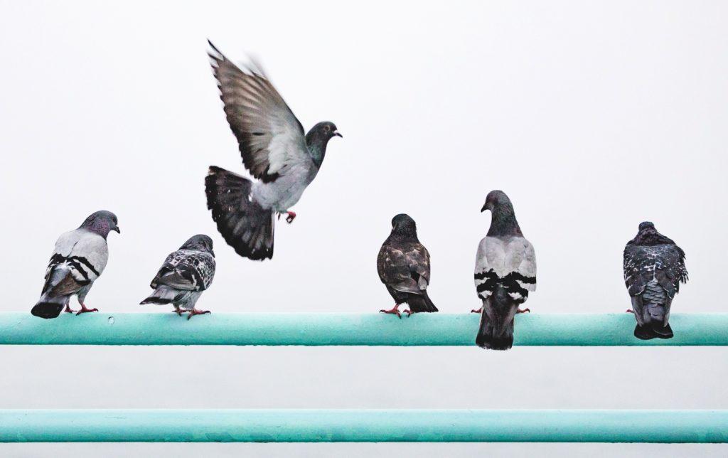 Zusätzliches Gewicht lässt männliche Tauben in der Rangordnung aufsteigen