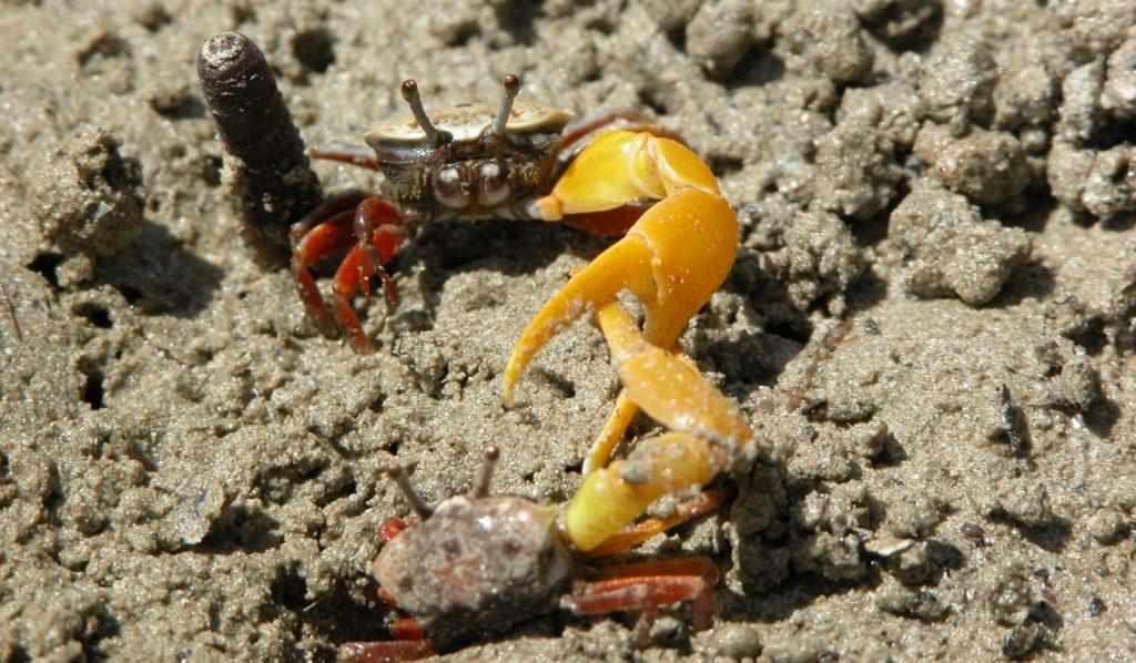 Zwei Bananen-WInkerkrabben-Männchen im Kampf