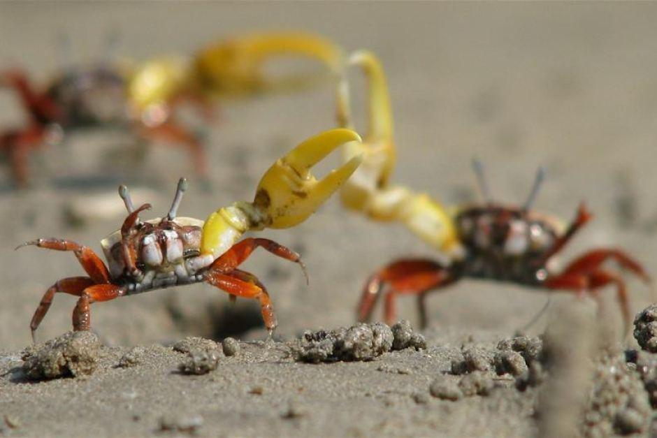 Bananen-Winkerkrabben-Männchen winken mit ihren gelben Scheren