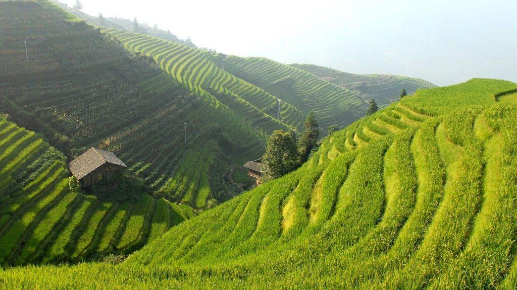 Heimat der Braunrückigen Reiszikaden: Reisterassen in China