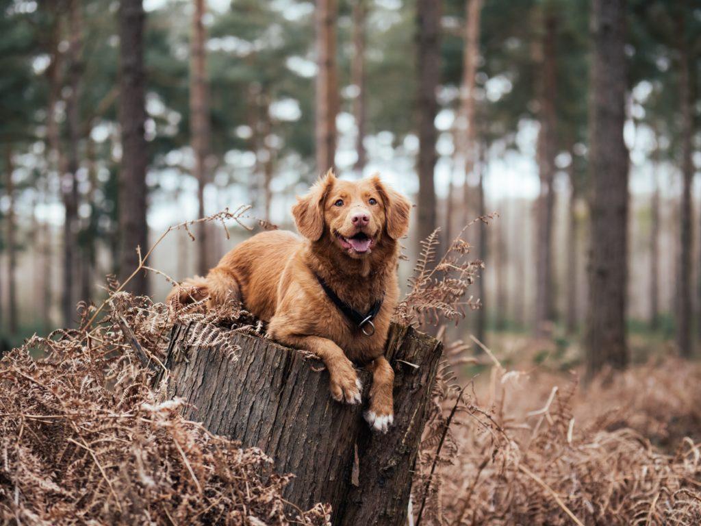 Elektrohalsbänder führen nicht zu einem besseren Trainingsergebnis bei Hunden