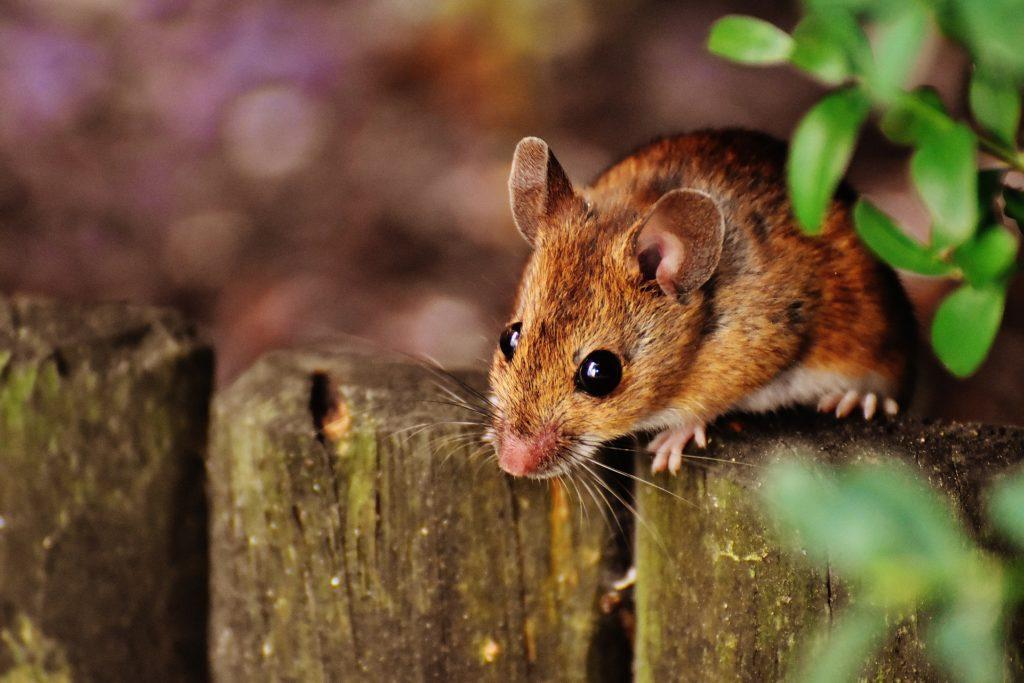 Mäuse, die per Kaiserschnitt auf die Welt gekommen waren, verhielten sich in der Studie anders als ihre auf natürlichem Weg geborenen Artgenossen