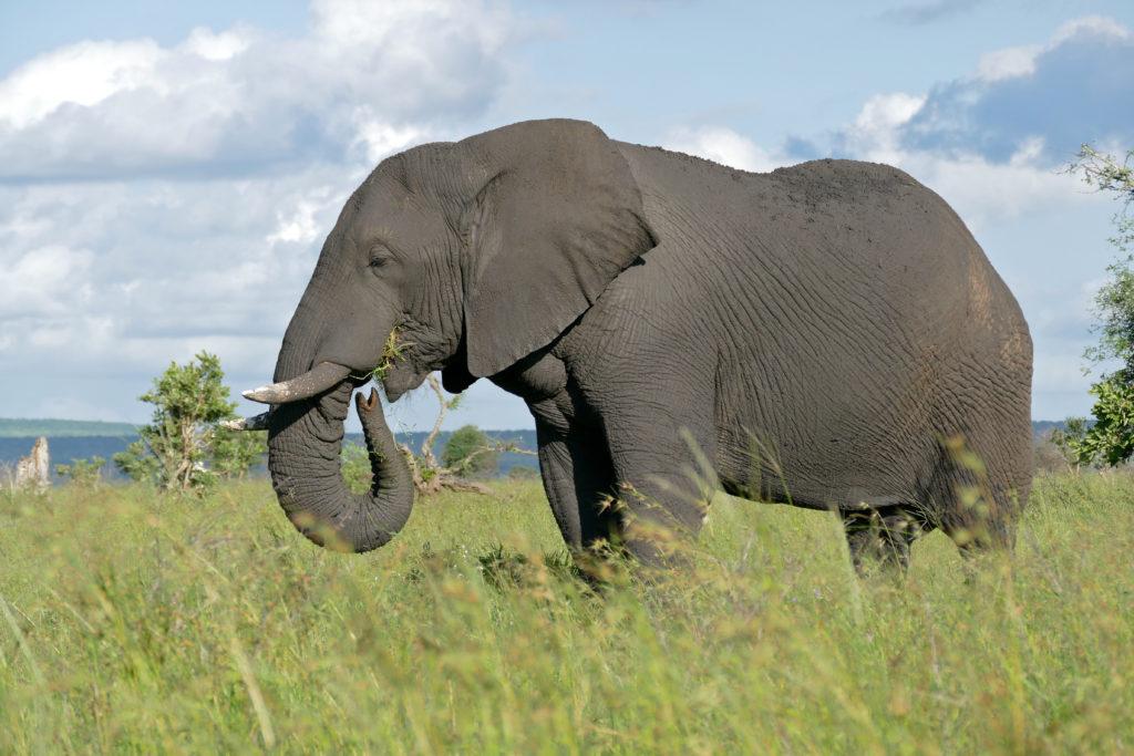 Erfahrene männliche Elefanten laufen bei Wanderungen an der Spitze