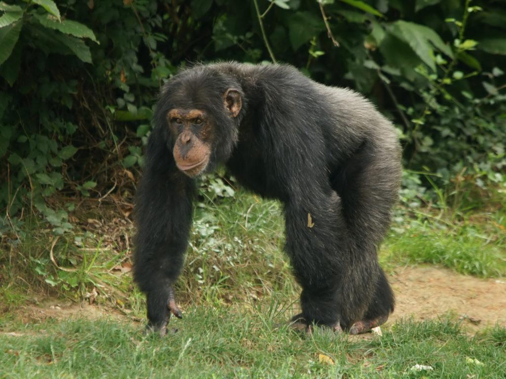 Männliche Schimpansen zeugen weniger Nachkommen, wenn sie ihre Mutter vor Eintritt der Geschlechtsreife verlieren