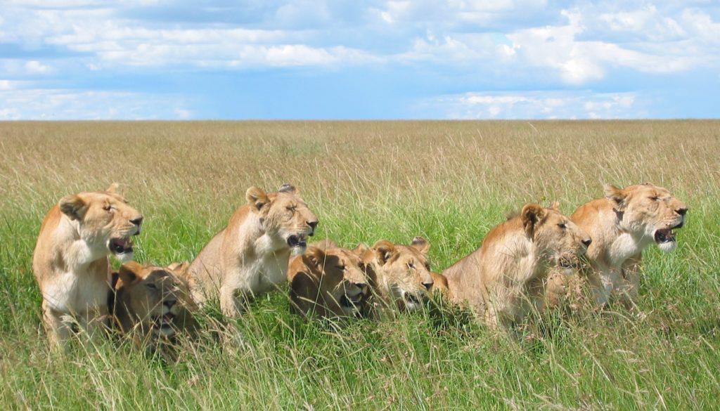 Löwen leben in Rudeln aus durchschnittlich einem guten Dutzend Tieren - deren Mitglieder sind aber nicht immer gemeinsam unterwegs