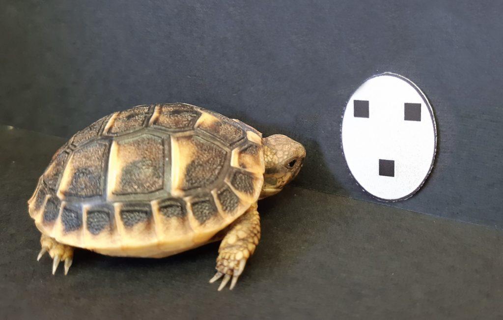 Eine Szene aus dem Versuch: frisch geschlüpfte Schildkröten zeigen eine Präferenz für gesichtsähnliche Symbole