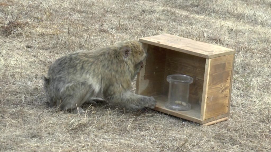 Ein betagtes Berberaffen-Weibchen versucht sich an der dritten Aufgabe.