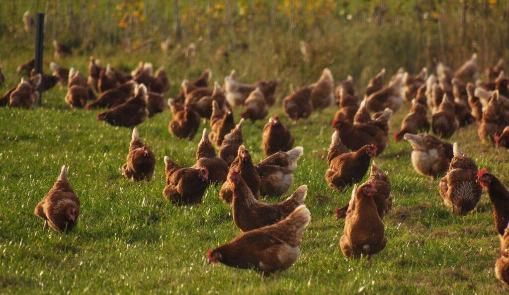Haushühner lauschen auf die Alarmrufe von Meisen
