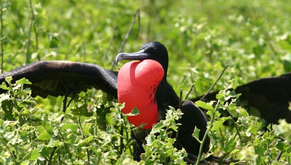 Männliche Fregattvögel tragen einen leuchtend roten Kehlsack
