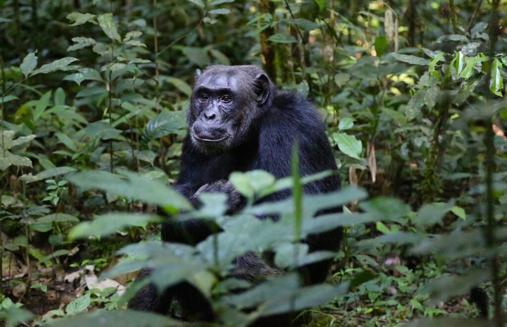 Im Fokus der Studie stand das Sozialverhalten alter und junger Schimpansen in Uganda
