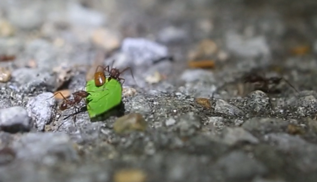 Schaben reisen per Anhalter mit Blattschneiderameisen
