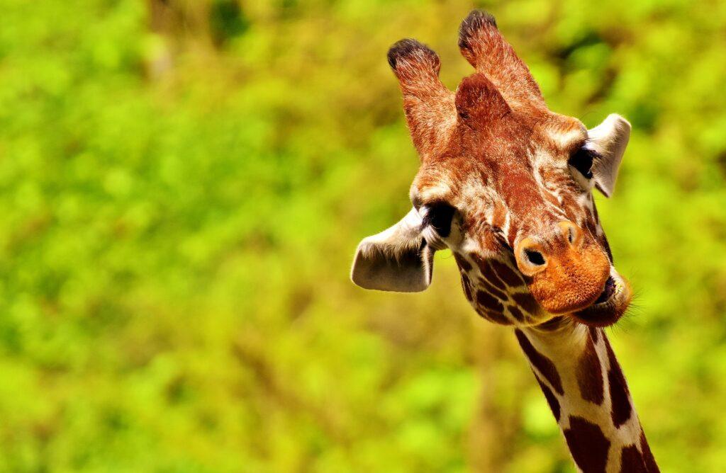 Im Fokus der Studie: Giraffen