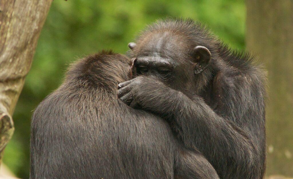 Männliche Schimpansen verbleiben in ihrer Geburtsgruppe