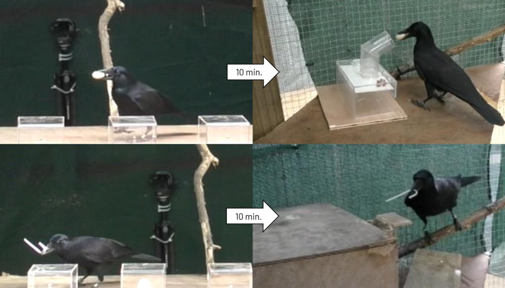 Geradschnabelkrähen sichern sich Werkzeuge, die sie erst zehn Minuten später zum Einsatz bringen können