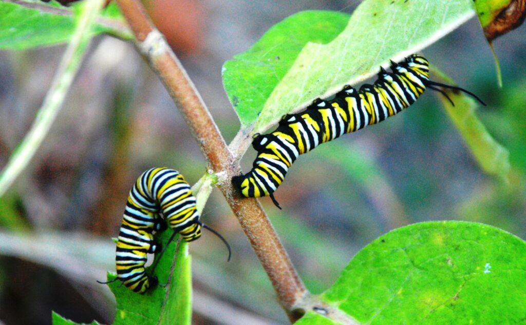 Raupen des Monarchfalters