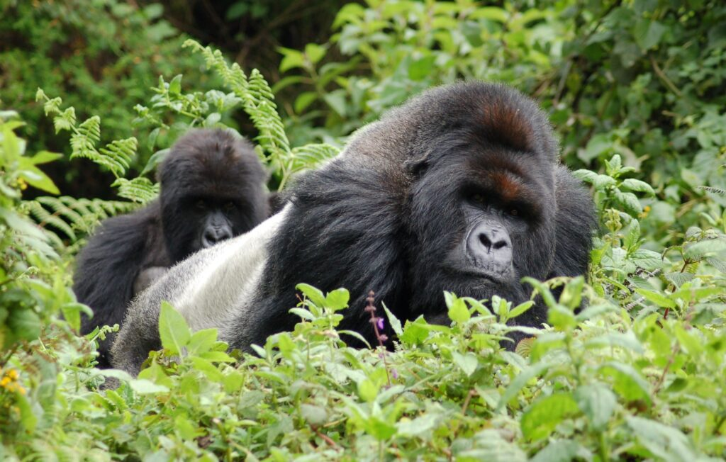 Die Zahl der Berggorillas wächst - aber nicht ihr Lebensraum
