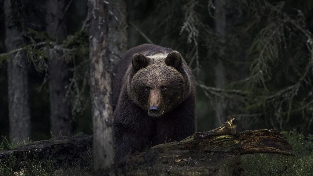 Braunbären lassen sich auf Aufnahmen von Kamerafallen ohne technische Hilfe nur schwer individuell erkennen