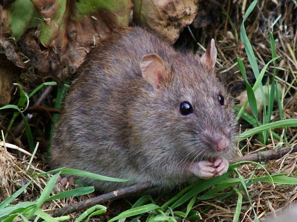 Ratten können Hilfsbereitschaft riechen
