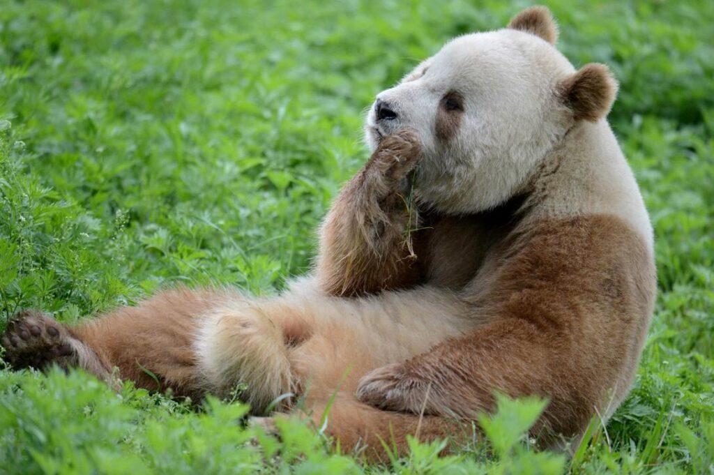 Ein Qinling-Panda