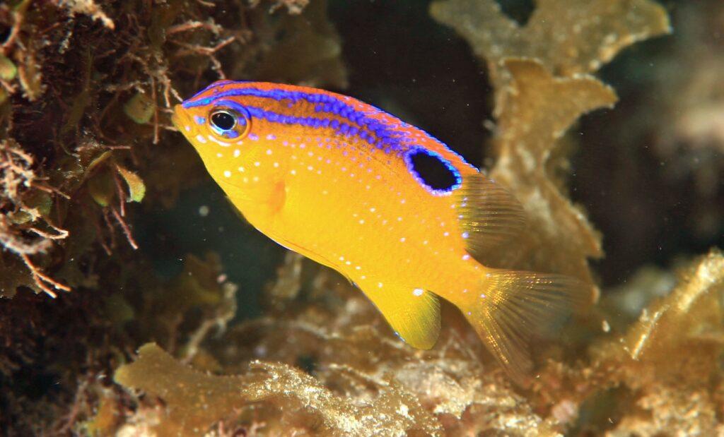 Juveniler Langflossen-Riffbarsche sind auffällig gefärbt