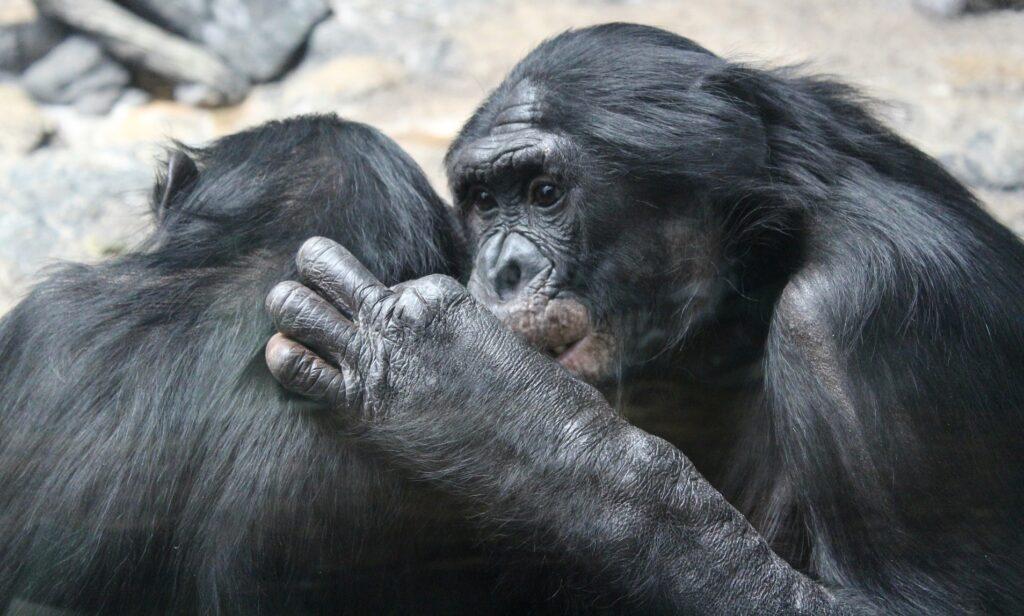 Bonobos bei der Fellpflege