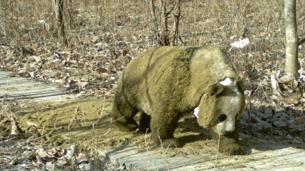 Qinling-Pandas wälzen sich in Pferdemist
