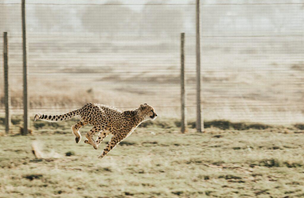 Begnadete Sprinter: Geparden