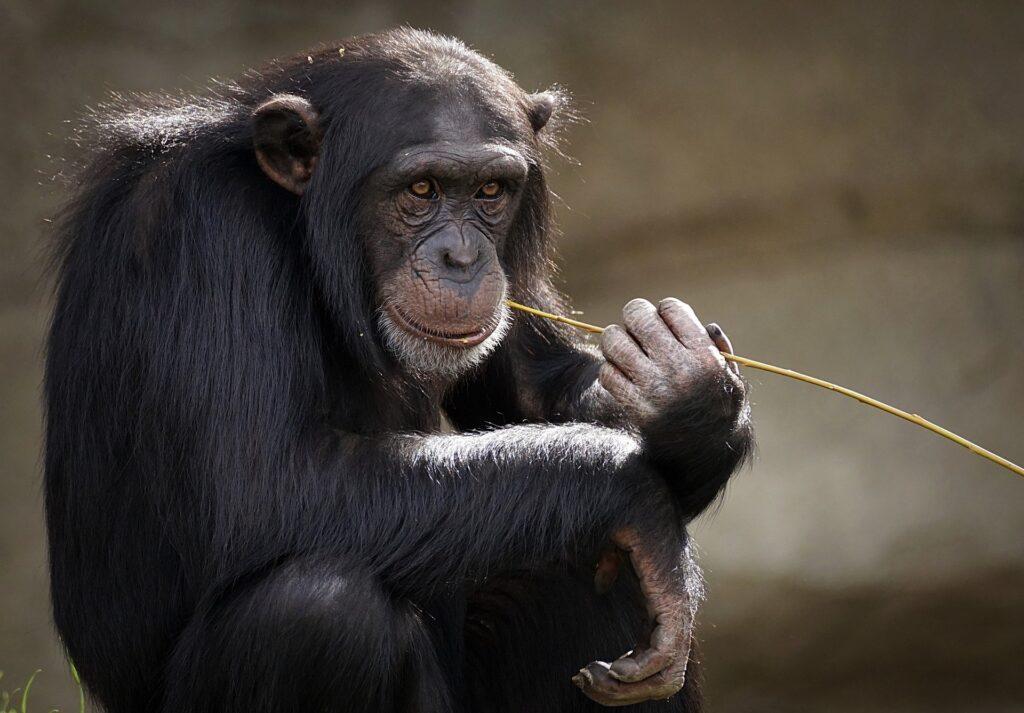 Die Wissenschaftler*innen untersuchten männliche Schimpansen in Uganda