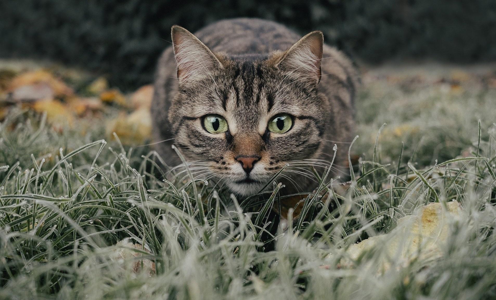 Freilaufende Hauskatzen können Wildtieren zum Verhängnis werden