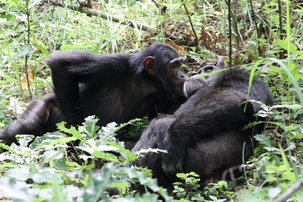 Manon Schweinfurth hat unter anderem Kooperation bei Schimpansen erforscht.