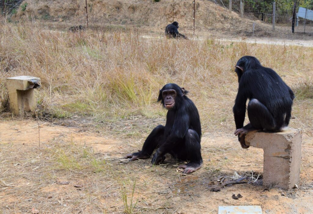 Um Kooperation bei Schimpansen zu untersuchen, hat Manon Schweinfurth ihnen Saftbrunnen zur Verfügung gestellt (Foto: Manon Schweinfurth)
