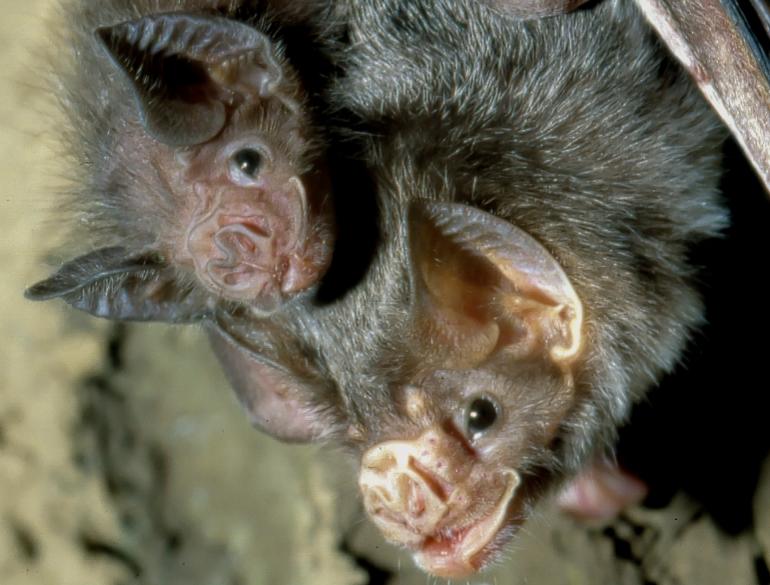 Ein weiblicher Vampir mit einem Jungtier
