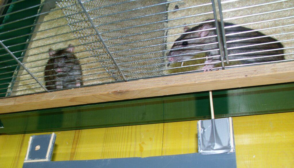 Ein Apparat zur Kooperation: Wenn die Ratte auf der rechten Seite am Stäbchen zieht, bewegt sich das Tablett mit der Haferflocke ins Gehege der Ratte auf der linken Seite.