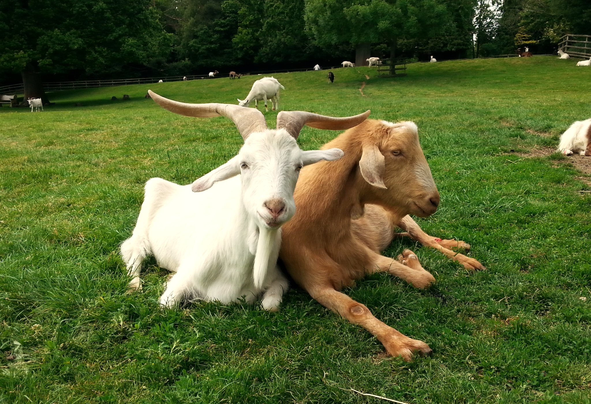 Das Forschungsteam testete sowohl Ziegen als auch Schafe auf ihre Flexibilität