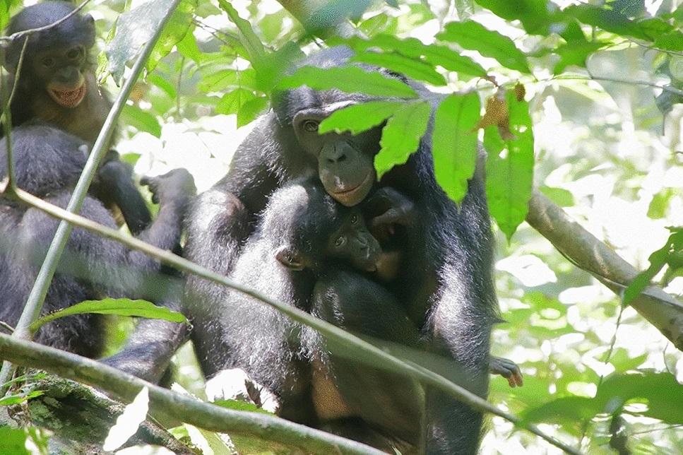 Bonobos adoptieren Jungtiere aus fremden Gruppen
