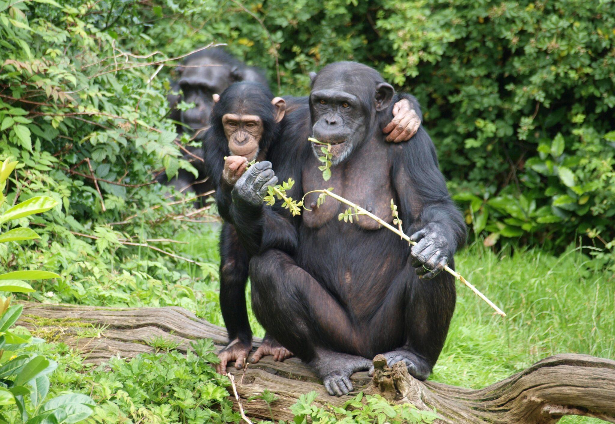Verhelfen ihren Artgenossen zu einer Belohnung: Schimpansen