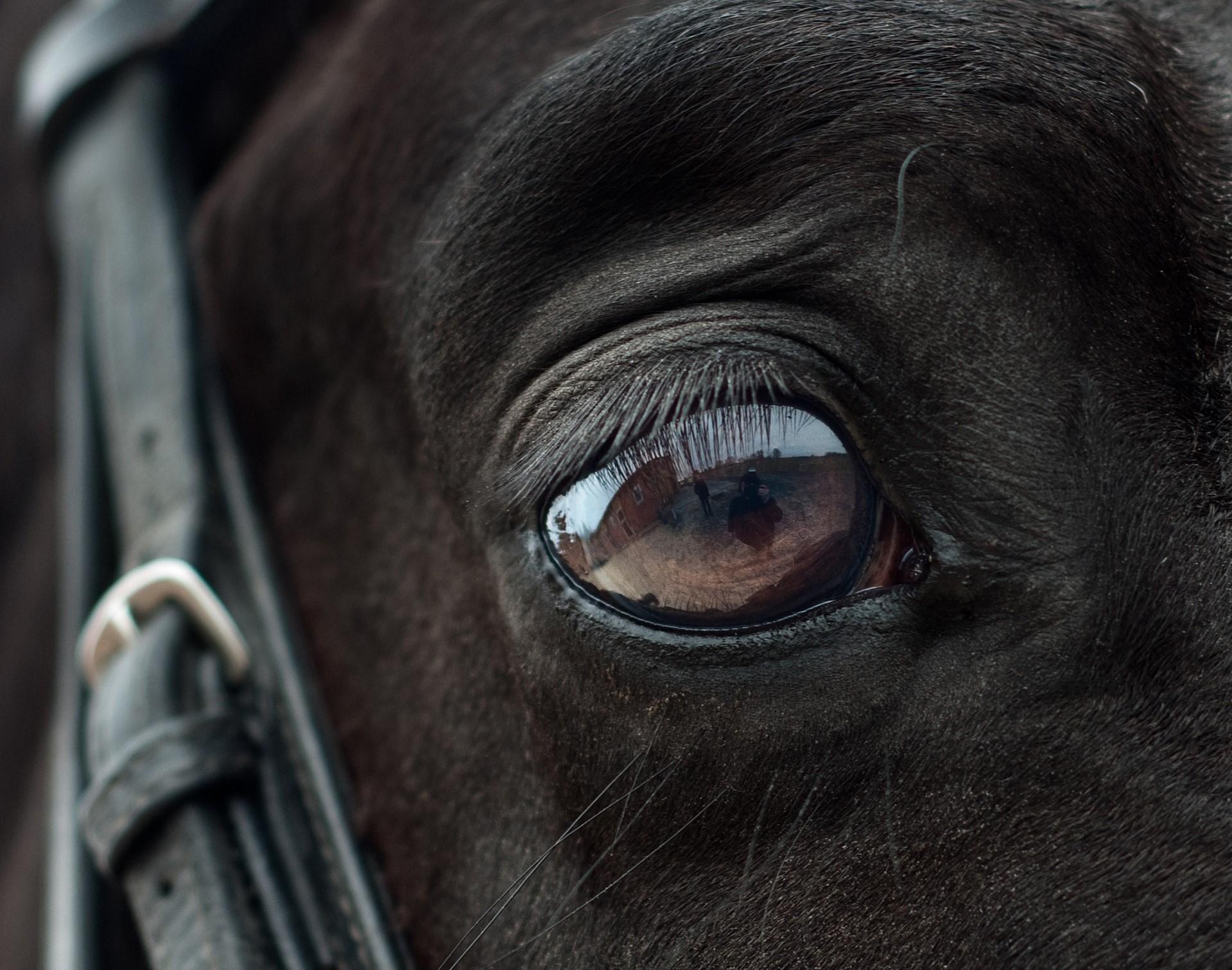 Die Ergebnisse der Studie legen nahe, dass Pferde ihr Spiegelbild erkenne