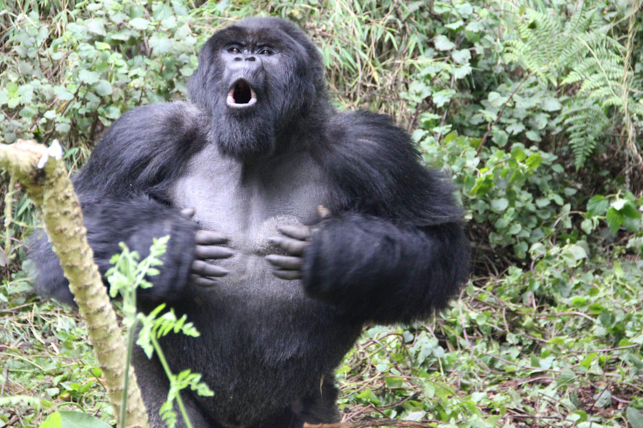 Äußerst imposant: Das Brusttrommeln männlicher Gorillas