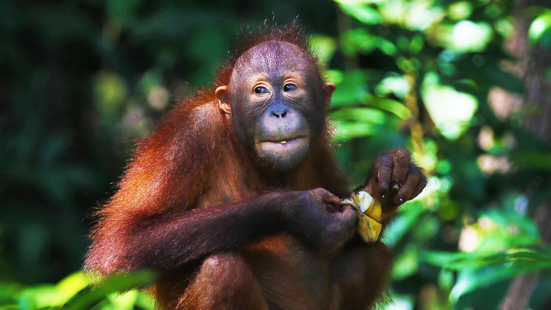 Orang-Utans fressen überwiegend pflanzliche Nahrung